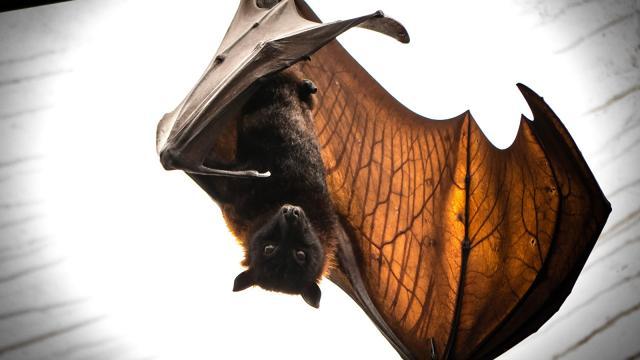Las lenguas peludas ayudan a los murciélagos a beber