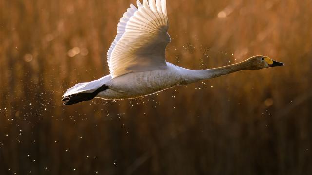 Las heces de pato arrojan luz sobre la dispersión de semillas de plantas