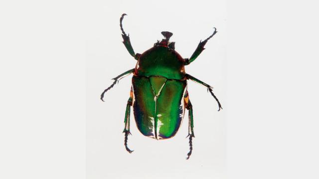 Escarabajo de ceniza esmeralda