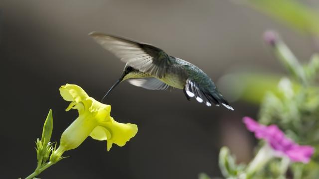 El poder del cerebro gana fuerza cuando colibríes se muestran como compañeros