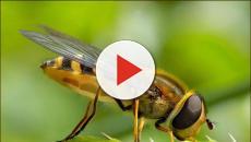 Las abejas exóticas podrían causar la extinción de las plantas