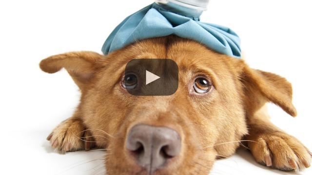 Los perros pueden contraer la gripe como los humanos