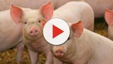 Servicio para apoyar a los granjeros porcinos
