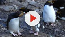 Macaroni penguins get couple's only resort for Valentine's Day
