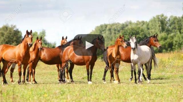 Los caballos árabes que conquistaron a el Scottsdale