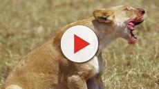 Leões matam e comem caçador ilegal, deixando para trás apenas sua cabeça intacta