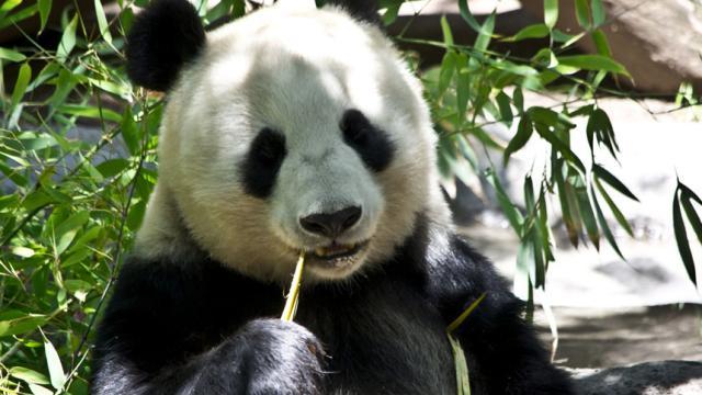 Japón: Cachorro de panda gigante pone a correr a empresa para registrar marca