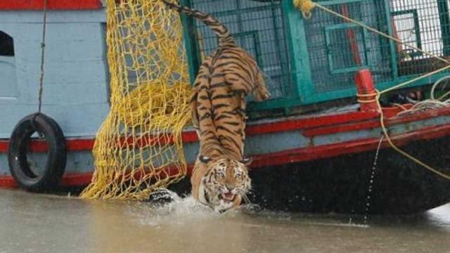 Las viudas del tigre Sundarbans de La India desafían el estigma para sobrevivir