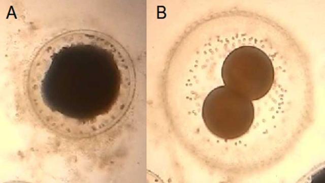 Los óvulos ya pueden ser desarrollados en los laboratorios
