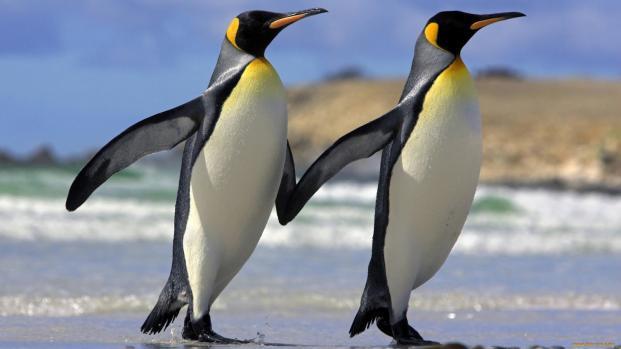 Video:El amor en San Valentín está en el aire para los Pingüinos Macaroni