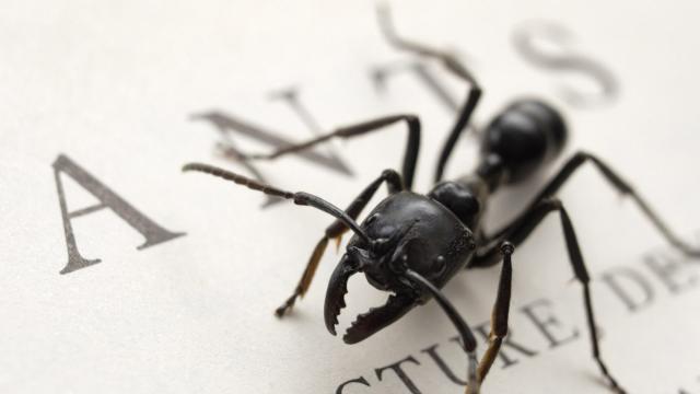 Especies de hormigas se mantienen saludables con sus propios antibióticos