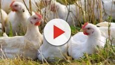 Salmonella in un allevamento di Correggio, uccise 18mila galline
