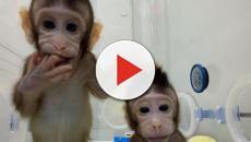 ¡Ya están aquí los clones de primates nacidos en china!