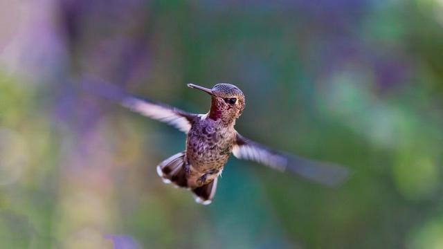 El colibrí puede batir sus alas de 80 a 200 veces por segundo