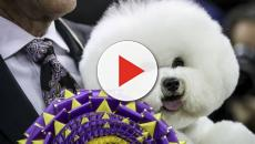 The 2018 Westminster Kennel Club Dog Show ends with a surprise winner