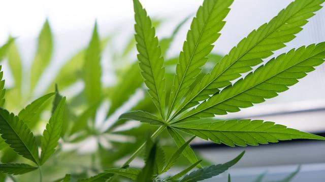 El alcohol y la marihuana ambos son muy dañinos para el celebro