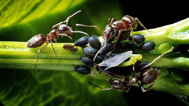 En el campo de batalla, las hormigas se tratan heridas de guerra entre sí