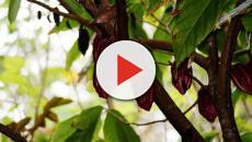 Meiji apoyará a México con árboles jóvenes de cacao blanco