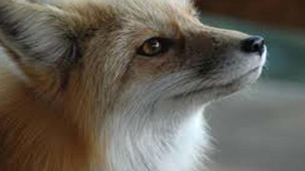 Sardegna: uccide una volpe col forcone, video choc in rete