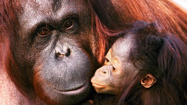 100,000 orangutanes' muertos en 16 años