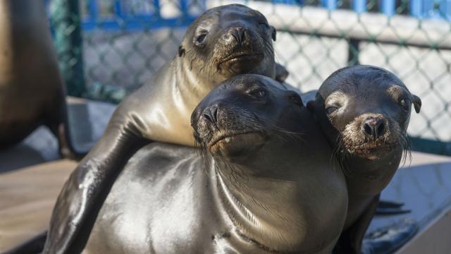 Los leones marinos han regresado magníficamente y quieren recuperar sus playas