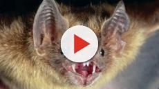 Cómo los murciélagos vampiros se volvieron sanguinarios