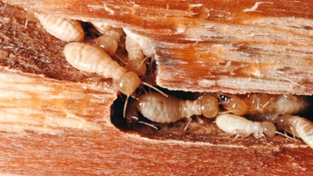 Insectos: el secreto oculto de las termitas