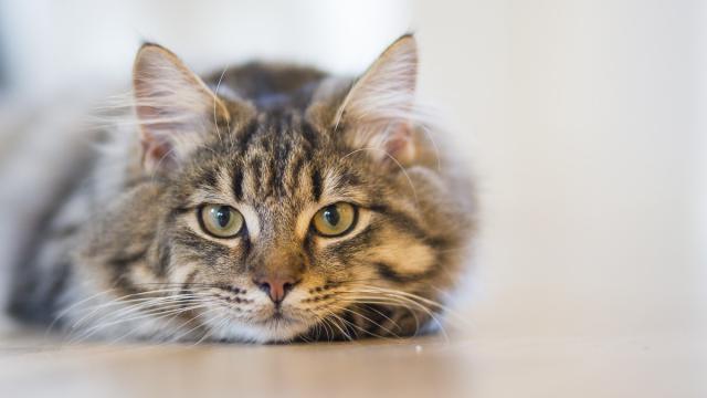 ¿Por qué deberías vacunar a tus gatos?