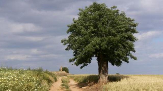 El 'árbol más solitario' registra la época humana