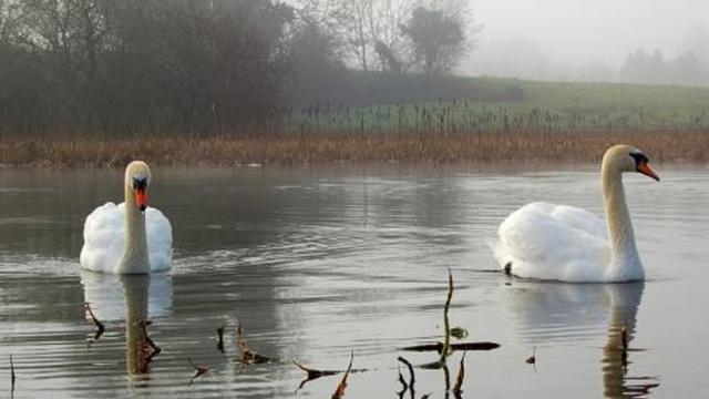 Naturaleza en corto : Cisnes de invierno atraen legiones de fanáticos en Japón