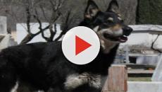 Muore Capitàn: il cane che ha vegliato 12 anni sulla tomba del padrone