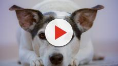 Todavía es legal comer carne de perro en los Estados Unidos