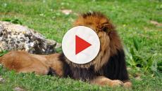 Leoni attaccano macchina in uno zoo safari