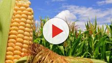 Gli OGM potrebbero avere un impatto positivo sulla popolazione mondiale?