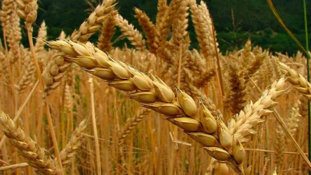 ¿El trigo antiguo hace buen gluten?