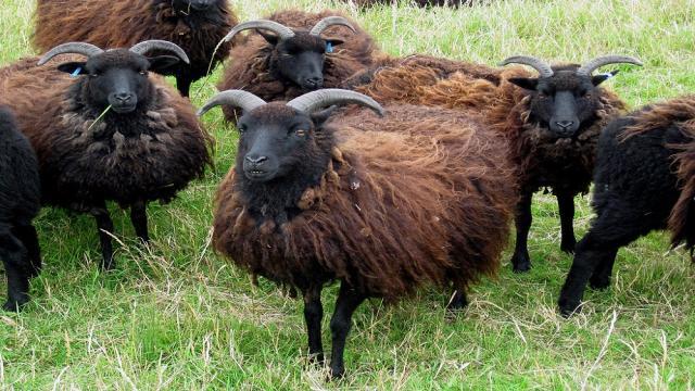 Razas de ovejas raras en Escocia