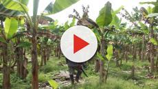 Enfermedades que afectan el banano