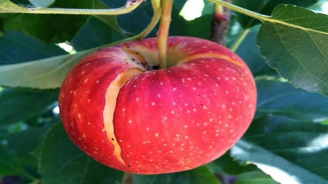 Defectos fisiológicos que afectan las frutas