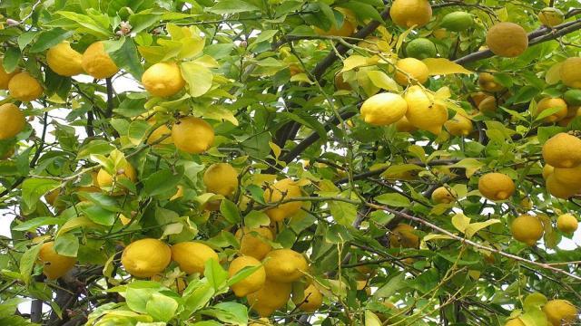 El jardín de limón: una joya celosamente guardada