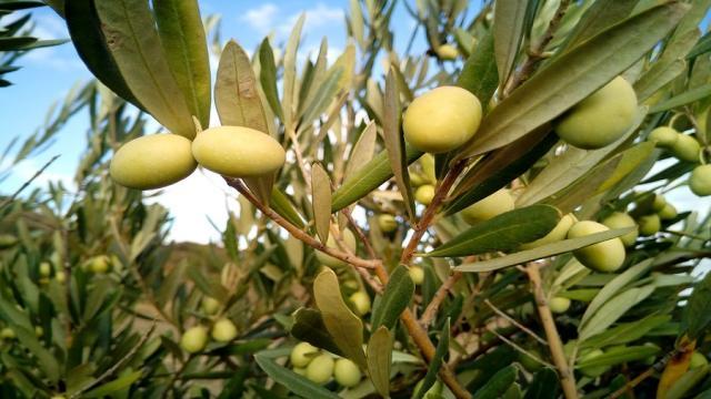 Inteligencia artificial para predecir la evolución de los parásitos en el olivo