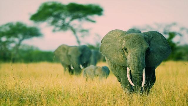 Genomas completos de elefantes extintos y vivos secuenciados