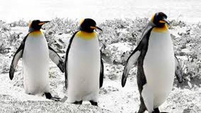 Pingüinos Rey: Otra víctima del cambio climático