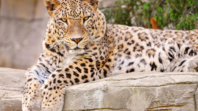 Nuevo estudio confirma los últimos leopardos de Camboya al borde de la extinción