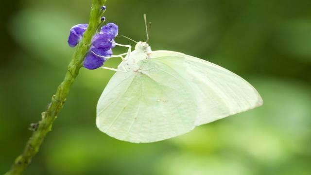 Mariposa blanca y su daño a las plantas