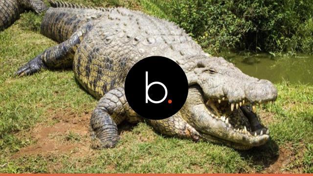 Pernas e braços são encontrados dentro de estômago de crocodilo de 6 metros