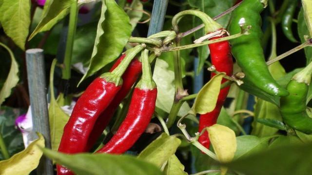 ¿Cómo cultivar chile, tanto en el campo como en las macetas?