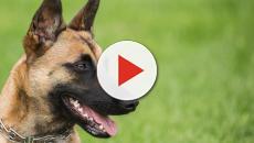 Pelota o peluche: ¿los perros saben lo que están oliendo?