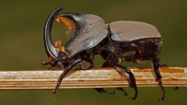 Escarabajos se enfrentan a la extinción debido a la pérdida de árboles viejos