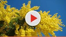 Festa delle donne, cucina: la mimosa si mangia, ecco le ricette per far colpo