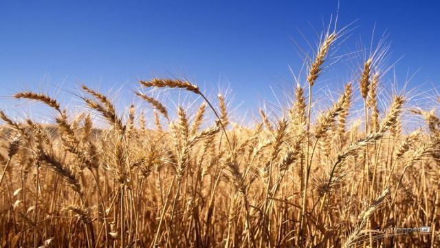 Fuerte crecimiento de las exportaciones de cebada rusa